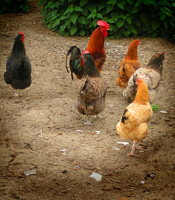 Avoir des poules maison campagne for Traitement pour les poules