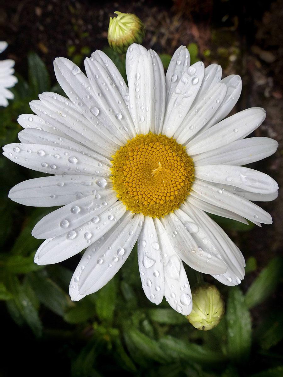 Comment peindre une fleur de marguerite avec une brosse - Image fleur marguerite ...